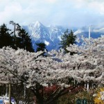 Cherry blossom photo with mountains